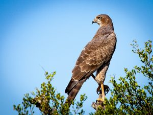 bird-of-prey-1544985_960_720